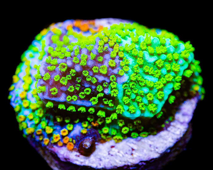 JF Grafted Rainbow Montipora