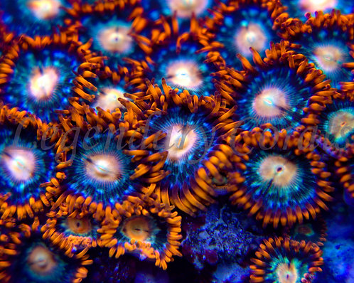 YR Peachy Blues Zoanthids
