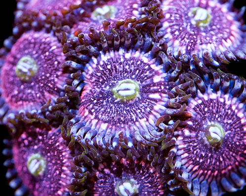 Pink Zippers Zoanthids