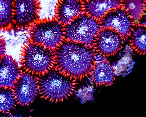 LC Black Ice Zoanthids