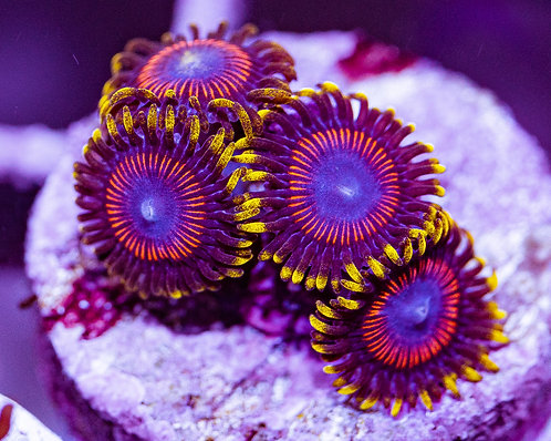 LC Tiger Hornets Zoanthids 4p, WYSIWYG