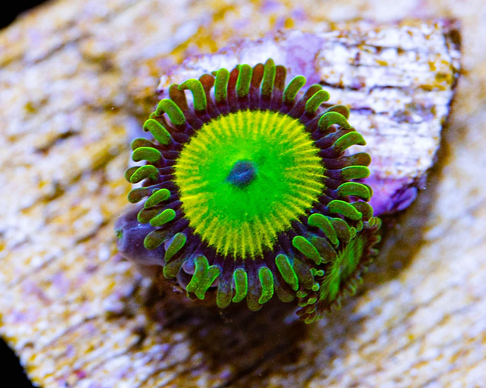 Hemmdog's Jeepers Creepers Zoanthids 1p, WYSIWYG