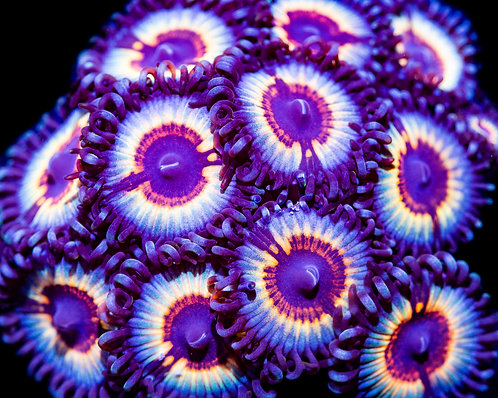 Sonic Flares Zoanthids