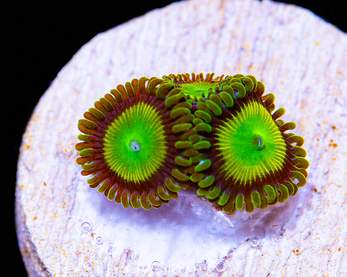 Hemmdog's Jeepers Creepers Zoanthids 3p, WYSIWYG