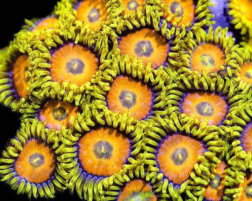 Spongebobs Zoanthids
