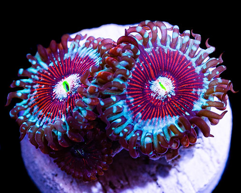 LC Salted Agaves Zoanthids