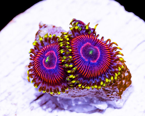 LC Sour Punches Zoanthids