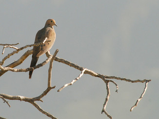 Dove opener looks promising on public areas for Southern California bird hunters