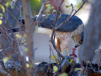 Baiting accipiters into the backyard