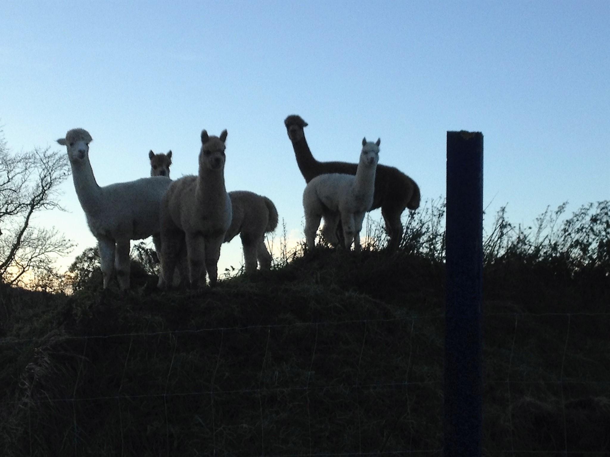 Alpacas at dusk
