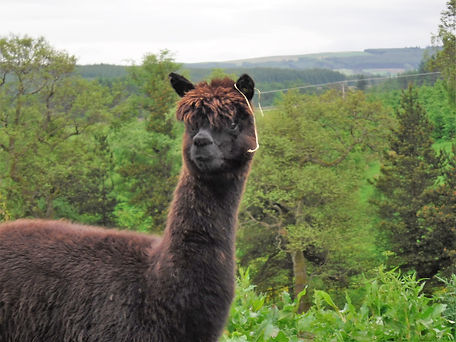 Netherfield Alpacas, Ebony