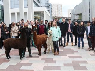 Alpacas at GCU
