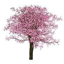 Sakura-Tree.jpg