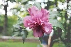 pink flower niki in bg