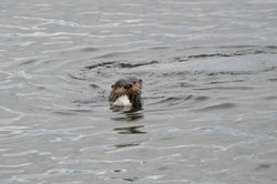 otter looking at me