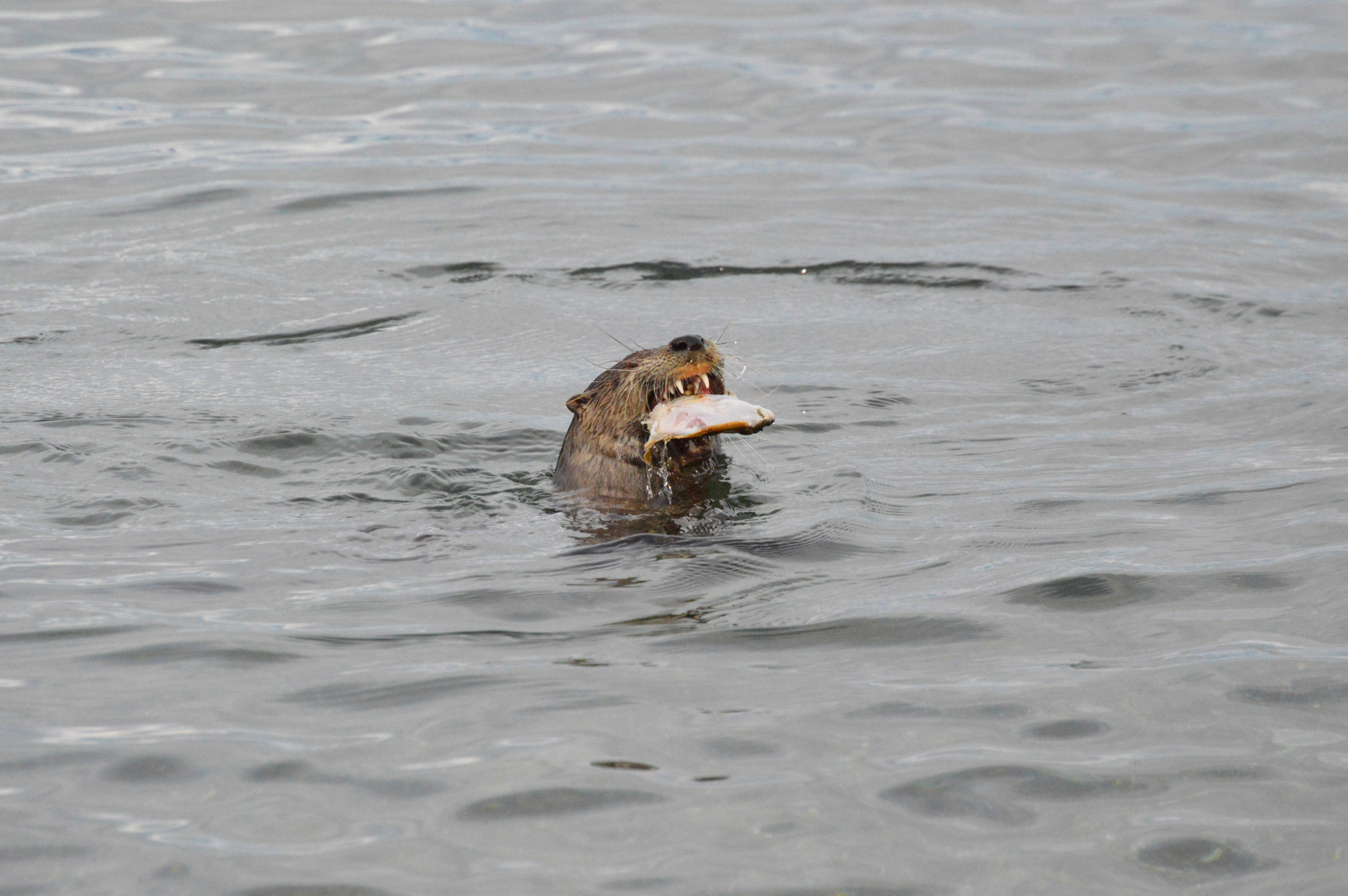 otters are vicious and terrifying creatures
