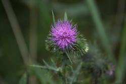 purple spikey flower from seattle