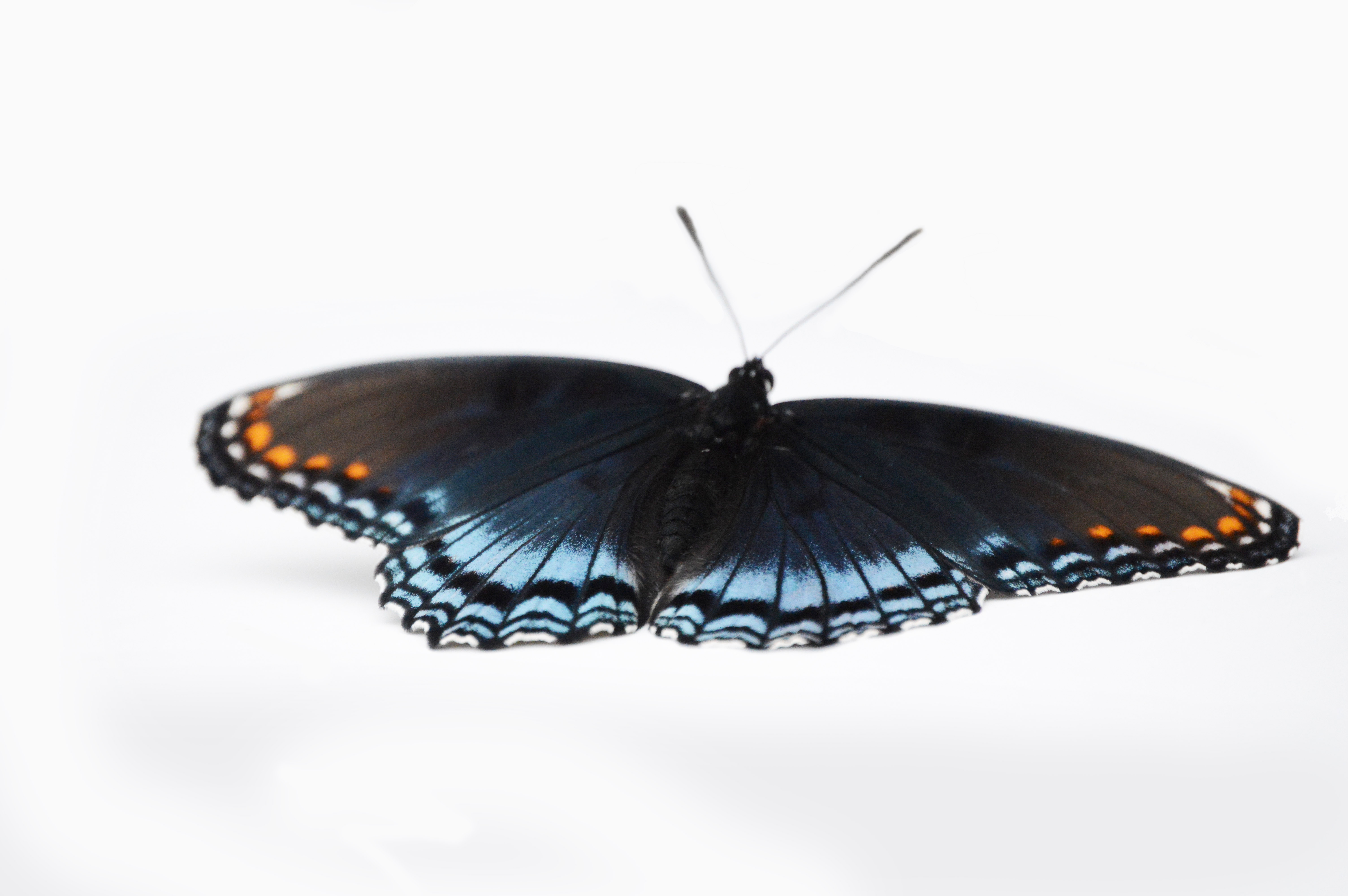 Butterfly dark from above 2