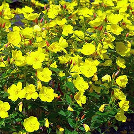 Evening-Primrose-flower-essence.jpg