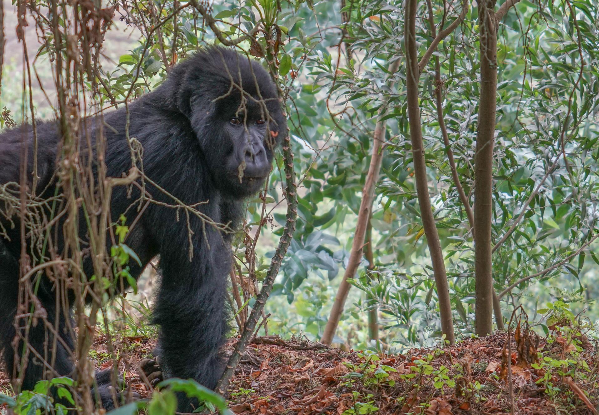 Gorilla Connection