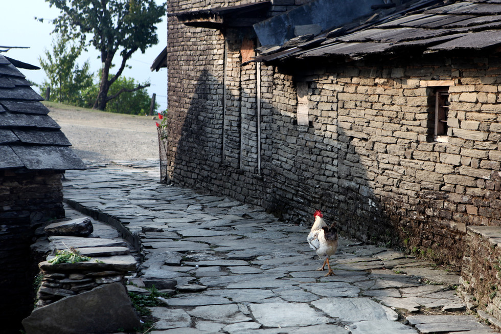 Dhampus Rooster