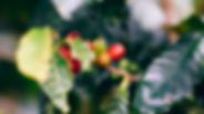 Coffee Farm Land  Panama.jpg