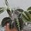Thumbnail: Maranta Leuconeura