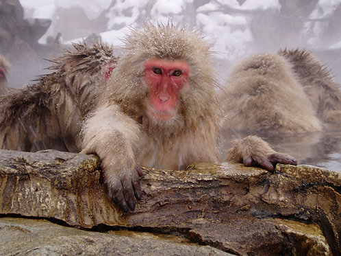 Snow Monkey Tour adult ticket