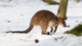 Australia Winter - Roo.jpg