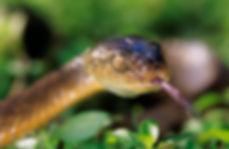 Australian Brown Snake.jpg