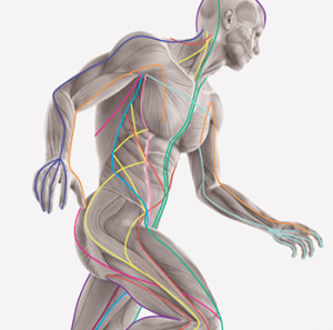 Fascial Meridians. Our Physical ánd Energetic chains of Force