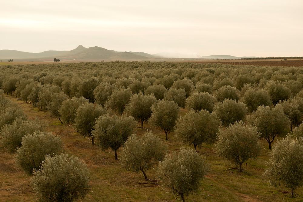 plantación Picual Ecológico Parcela Almazara