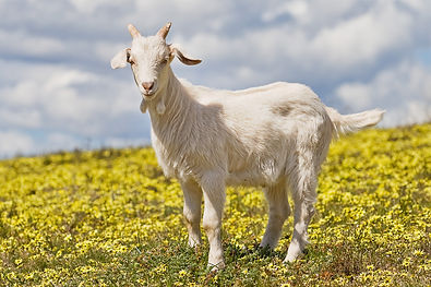 Domestic_goat_kid_in_capeweed.jpg