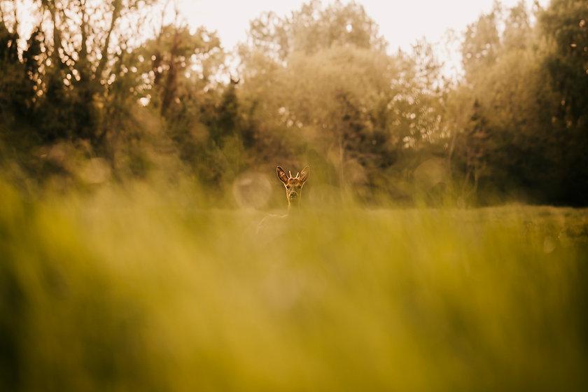 deer-1.jpg