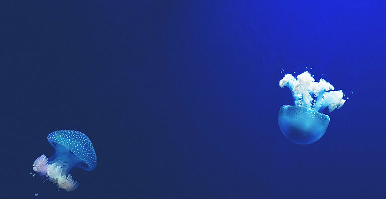 two jelly fish