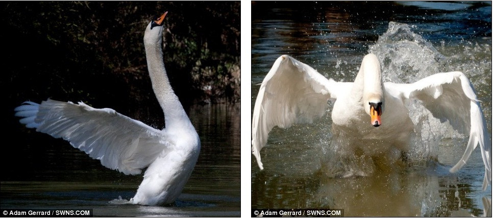Swan Flying