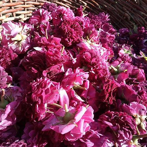 La récolte des roses à commencée !🌹 C'e