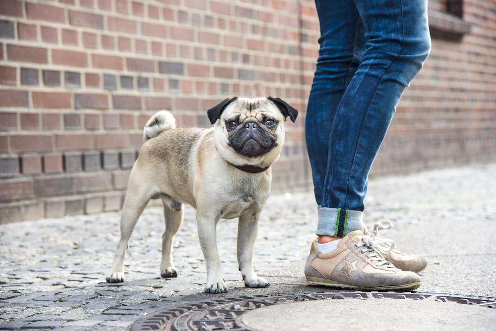Arnold, der Mops vom Bahnhof Zoo