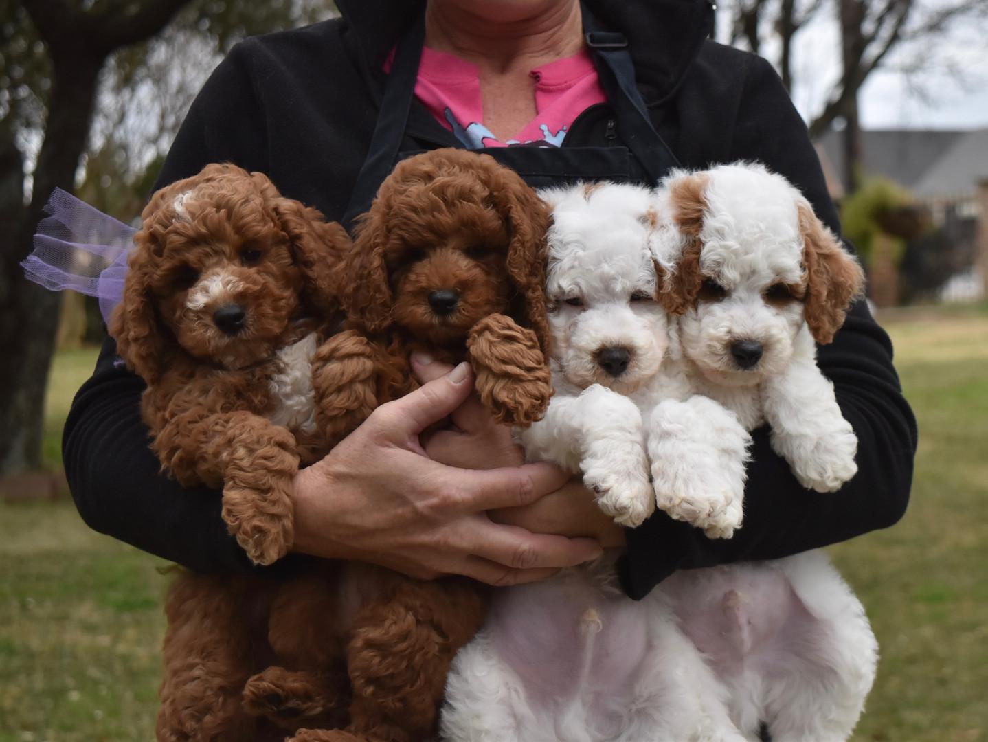 Armful of Precious Poodles