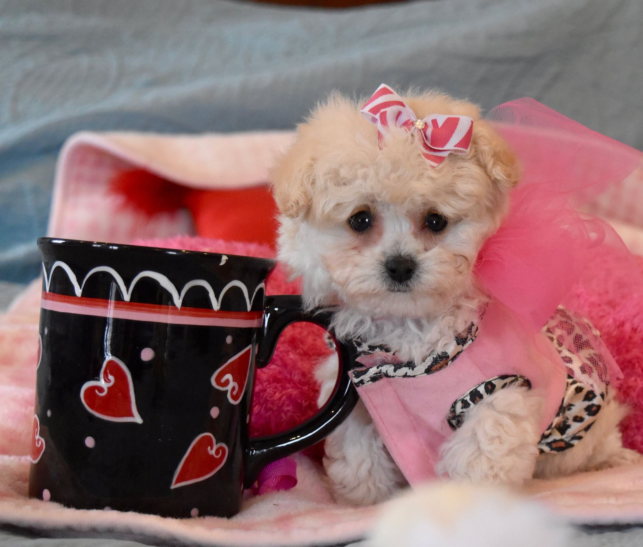 Apricot Maltipoo and cup