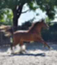 halter-stallion-arabian-horse.jpg