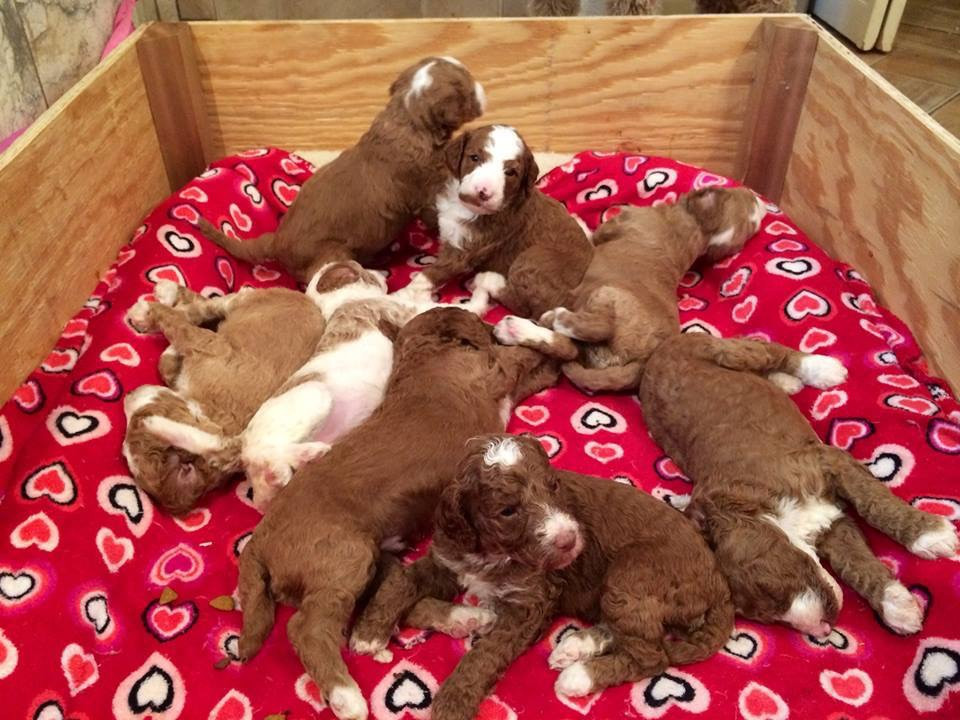 Gorgeous Red Litter