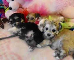 Litter of Maltipoo puppies