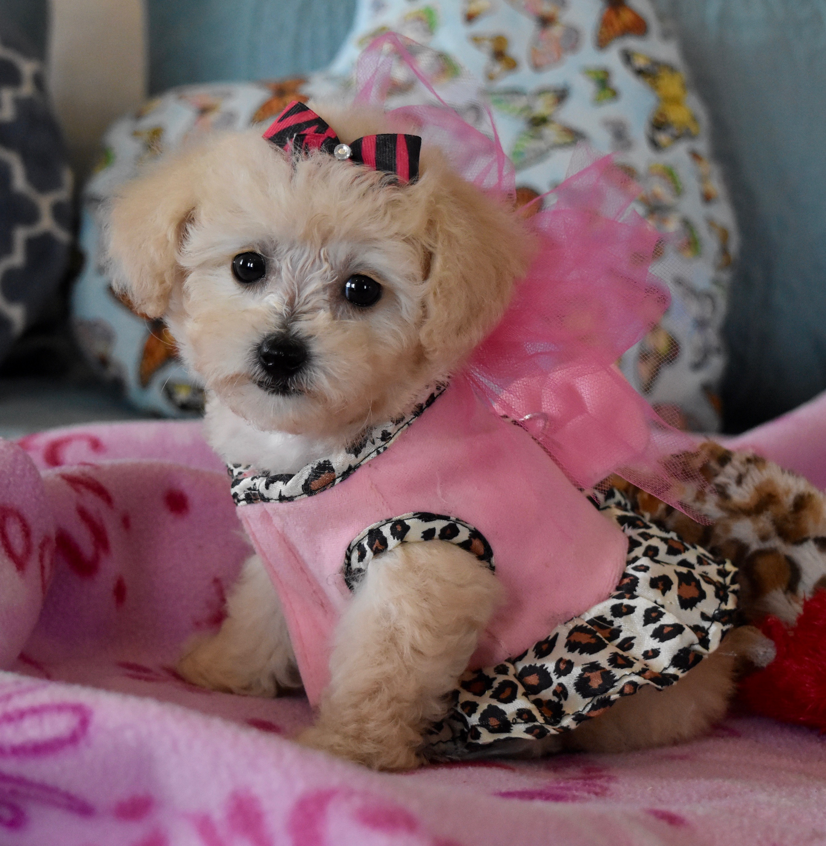Apricot Maltipoo wearing dress