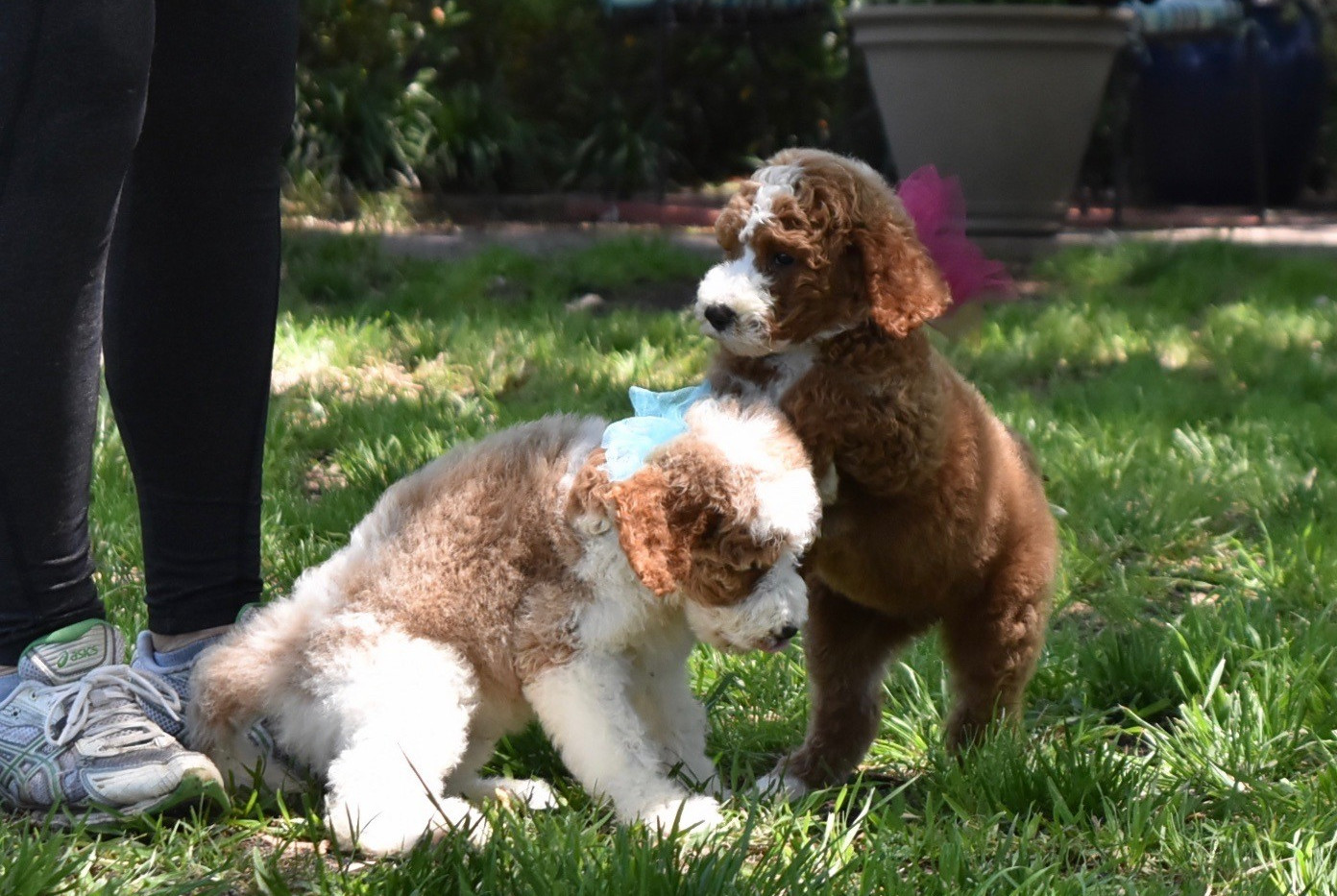 Poodle Puppy from previous litter
