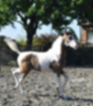 2018 Half Arabian Buckskin Pinto Colt