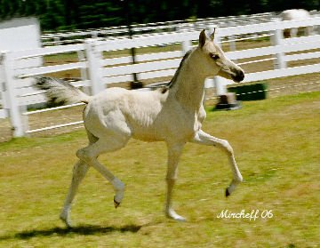 Ivory Gold Foal