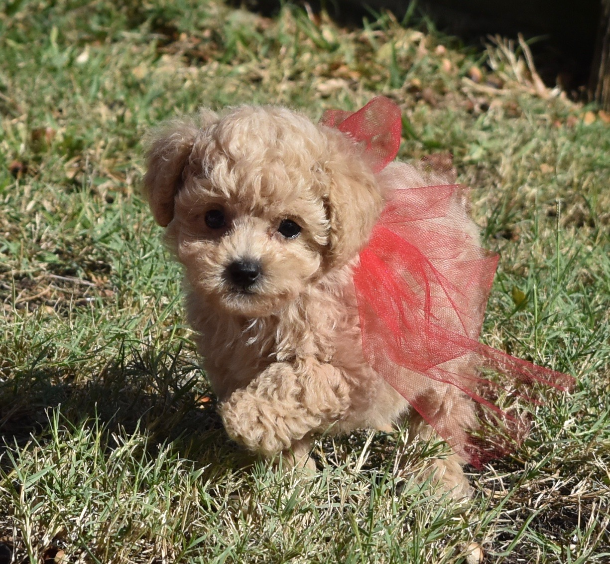 Apricot Maltipoo in Grass