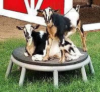 Goats a.jpg