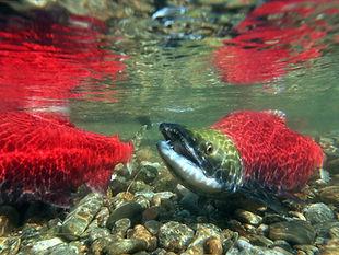 salmon-52ca831a0ac09bfede281741055831b15a03baba-s900-c85.jpg